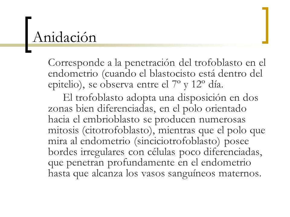 Anidación Corresponde a la penetración del trofoblasto en el endometrio (cuando el blastocisto está dentro del epitelio), se observa entre el 7º y 12º
