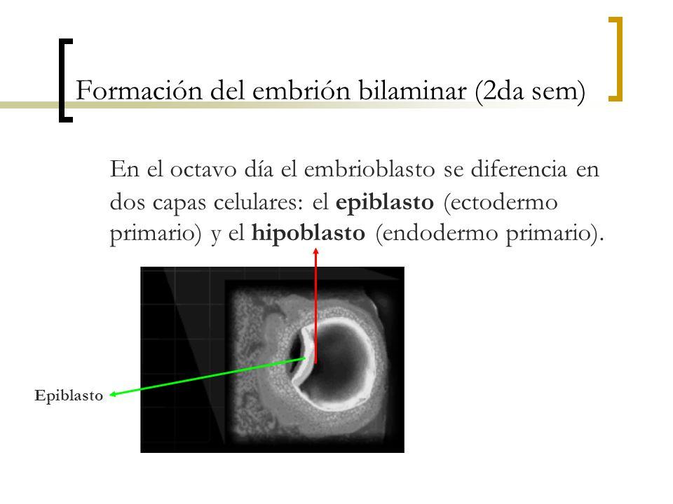 Formación del embrión bilaminar (2da sem) En el octavo día el embrioblasto se diferencia en dos capas celulares: el epiblasto (ectodermo primario) y e