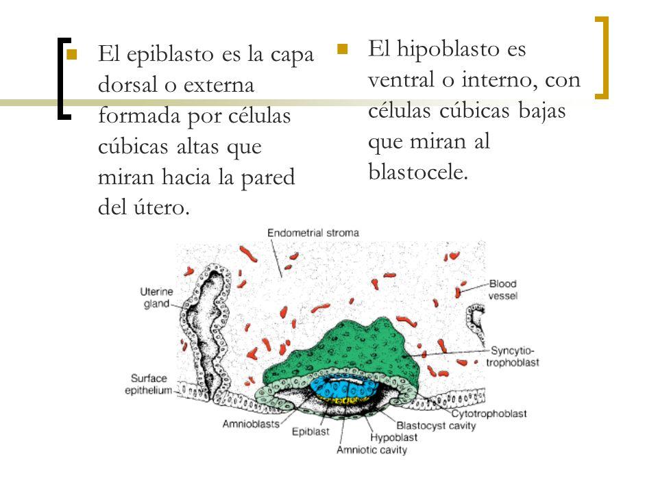 El epiblasto es la capa dorsal o externa formada por células cúbicas altas que miran hacia la pared del útero. El hipoblasto es ventral o interno, con
