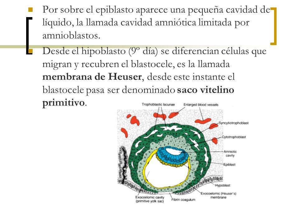 Por sobre el epiblasto aparece una pequeña cavidad de líquido, la llamada cavidad amniótica limitada por amnioblastos. Desde el hipoblasto (9º día) se