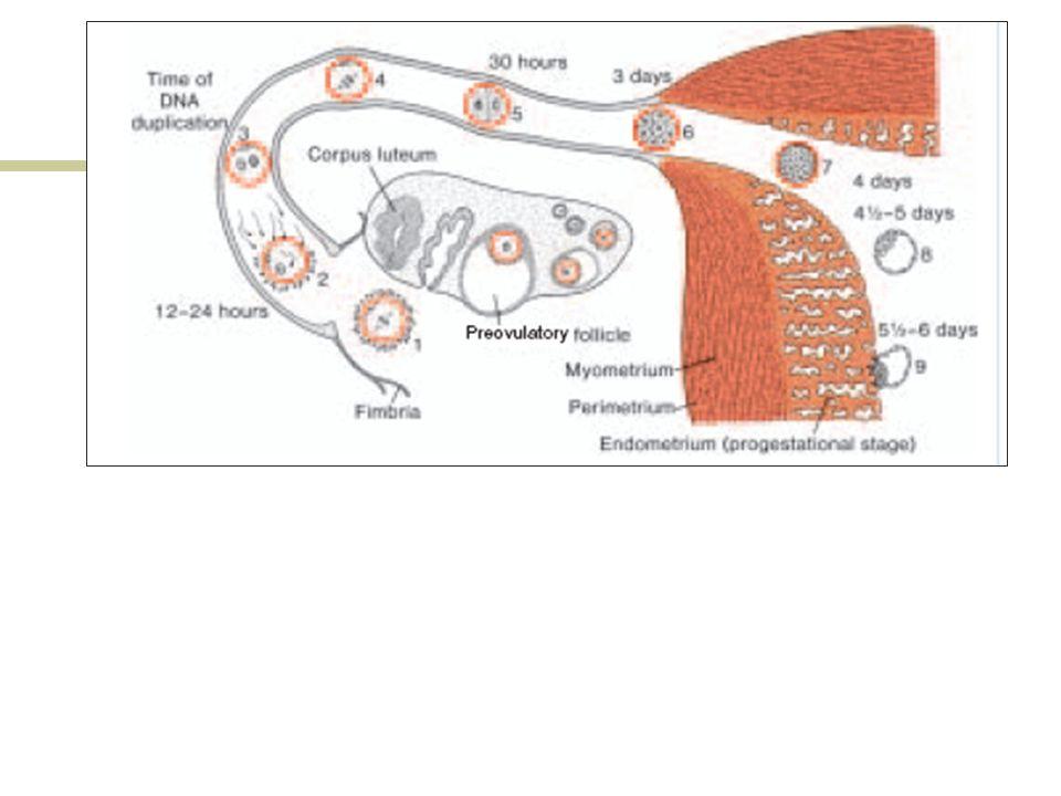 Quinto a séptimo día Al ingresar al útero el embrión ha perdido prácticamente toda su envoltura (zona pelúcida) proceso denominado eclosión, se encuentra en estado de blastocisto (aprox.