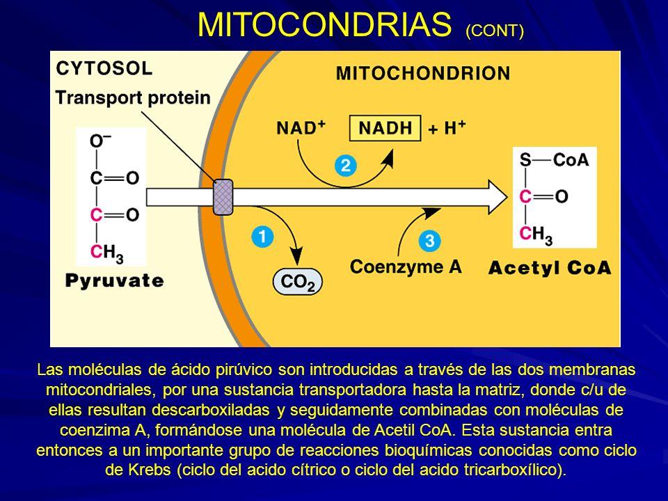MITOCONDRIAS (CONT) Las moléculas de ácido pirúvico son introducidas a través de las dos membranas mitocondriales, por una sustancia transportadora ha