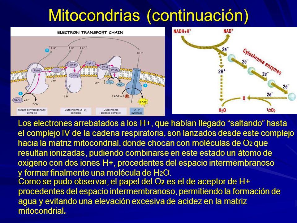 Mitocondrias (continuación) Los electrones arrebatados a los H+, que habían llegado saltando hasta el complejo IV de la cadena respiratoria, son lanza