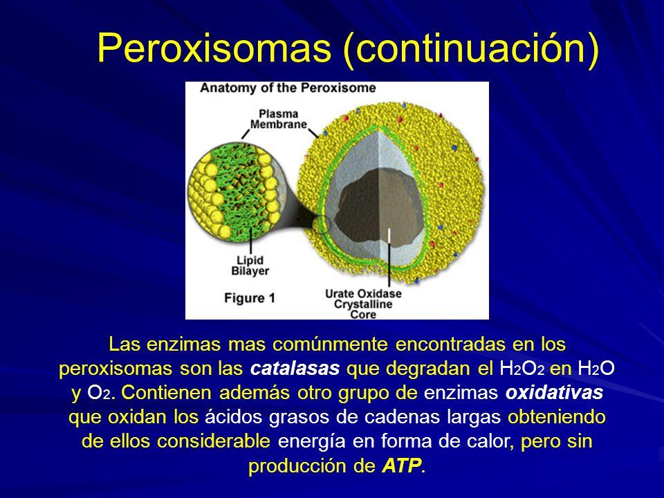 Peroxisomas (continuación) Un tercer grupo de enzimas de los peroxisomas son, las superóxido-dismutasas, que se encargan de neutralizar al radical libre de oxígeno súper oxido ( O 2 -) Estos radicales son muy reactivos y pueden peroxidar fosfolípidos de las membranas celulares causando devastadores daños, así como sobre el DNA, ocasionando en él mutaciones (cambios de su estructura) genéticas que pueden ser cancerígenas.
