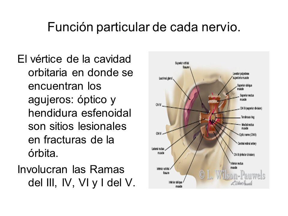 Función particular de cada nervio. El vértice de la cavidad orbitaria en donde se encuentran los agujeros: óptico y hendidura esfenoidal son sitios le