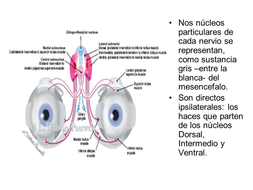 Nos núcleos particulares de cada nervio se representan, como sustancia gris –entre la blanca- del mesencefalo. Son directos ipsilaterales: los haces q