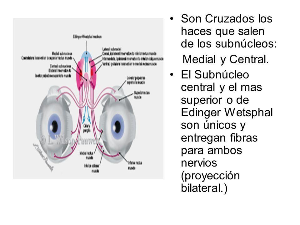 Son Cruzados los haces que salen de los subnúcleos: Medial y Central. El Subnúcleo central y el mas superior o de Edinger Wetsphal son únicos y entreg