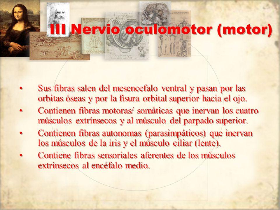 III Nervio oculomotor (motor) Sus fibras salen del mesencefalo ventral y pasan por las orbitas óseas y por la fisura orbital superior hacia el ojo. Co