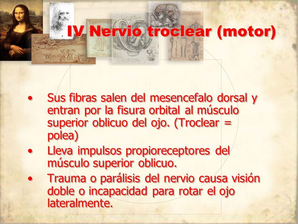 IV Nervio troclear (motor) Sus fibras salen del mesencefalo dorsal y entran por la fisura orbital al músculo superior oblicuo del ojo. (Troclear = pol