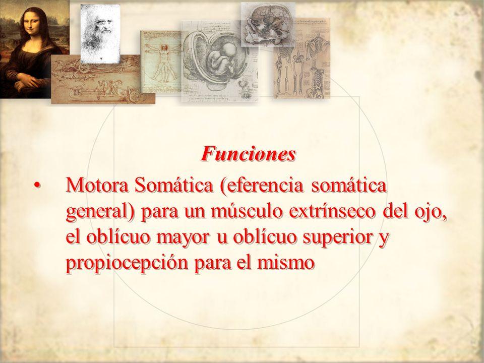 Funciones Motora Somática (eferencia somática general) para un músculo extrínseco del ojo, el oblícuo mayor u oblícuo superior y propiocepción para el