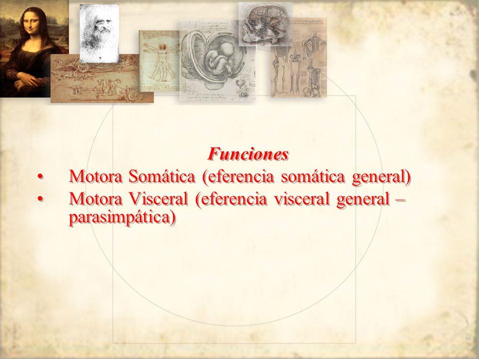 Funciones Motora Somática (eferencia somática general) Motora Visceral (eferencia visceral general – parasimpática) Funciones Motora Somática (eferenc