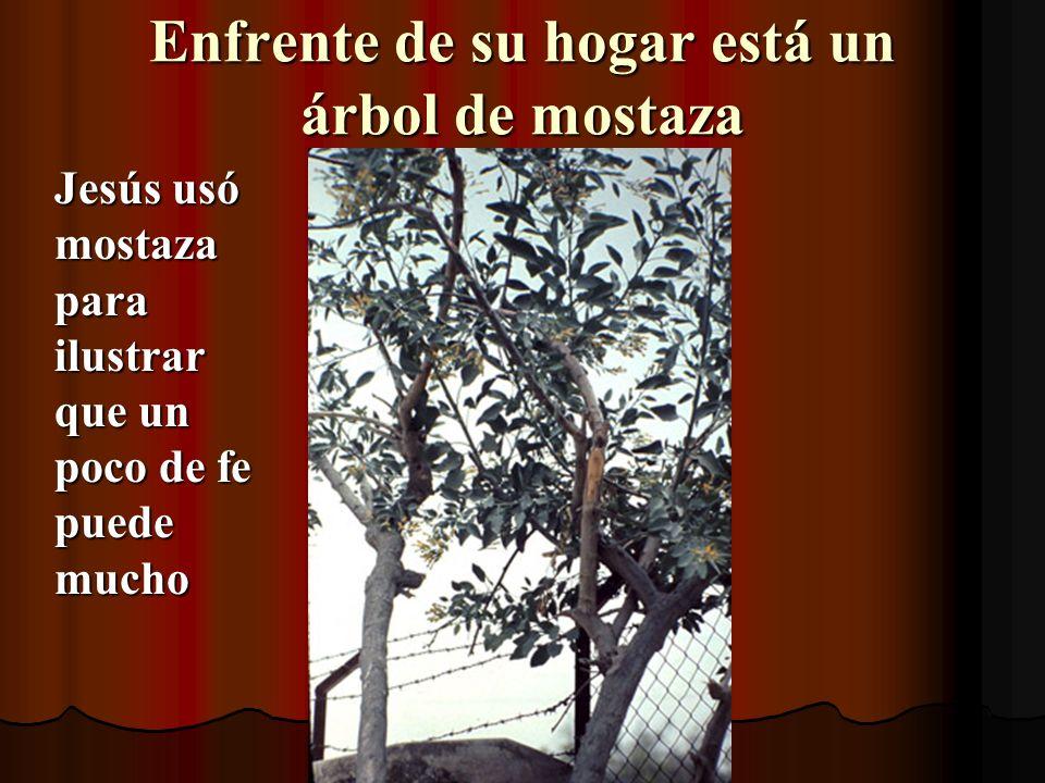 Enfrente de su hogar está un árbol de mostaza Jesús usó mostaza para ilustrar que un poco de fe puede mucho