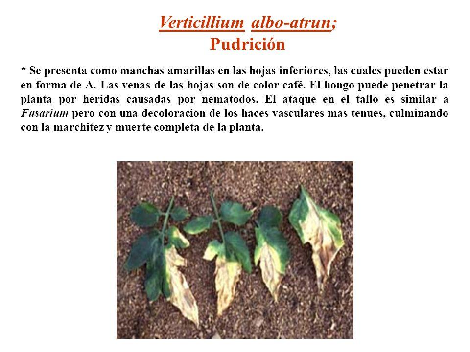 Verticillium albo-atrun; Pudrición * Se presenta como manchas amarillas en las hojas inferiores, las cuales pueden estar en forma de Λ. Las venas de l