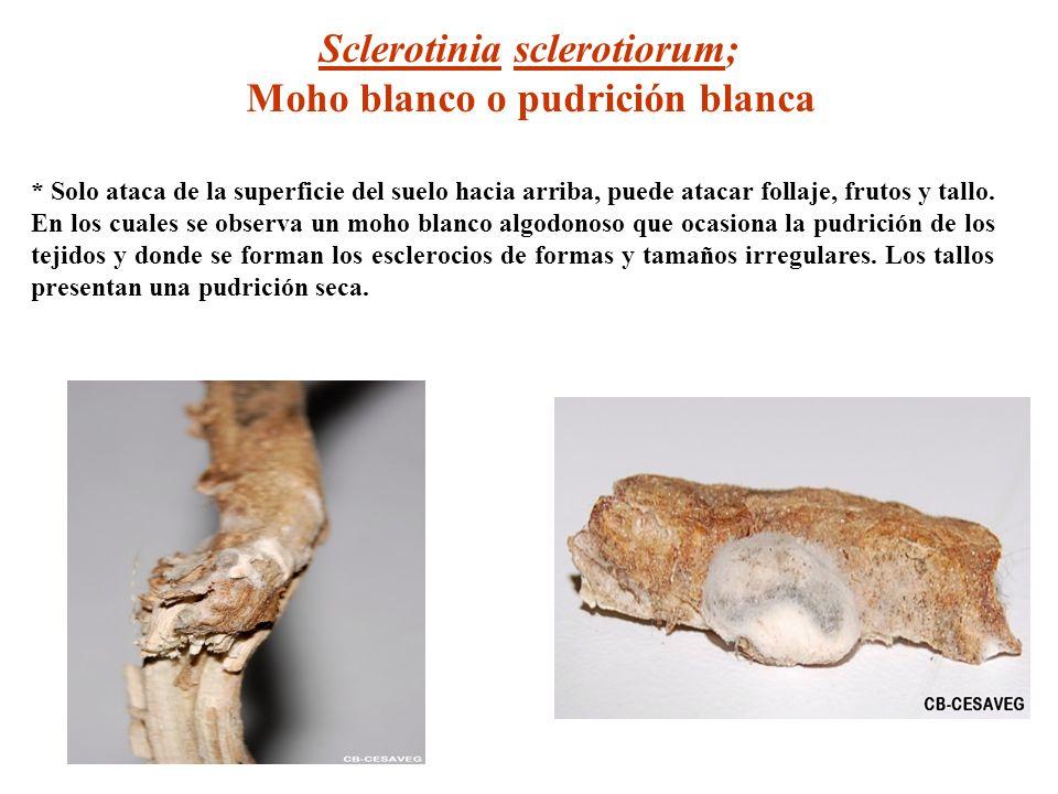 Sclerotinia sclerotiorum; Moho blanco o pudrición blanca * Solo ataca de la superficie del suelo hacia arriba, puede atacar follaje, frutos y tallo. E