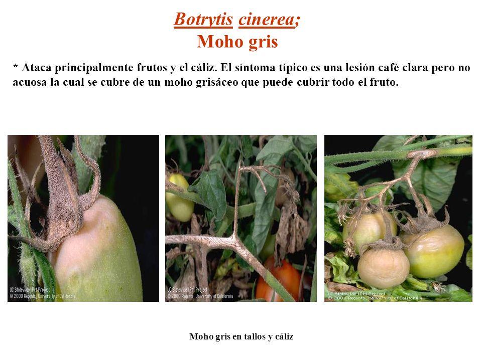 Botrytis cinerea; Moho gris * Ataca principalmente frutos y el cáliz. El síntoma típico es una lesión café clara pero no acuosa la cual se cubre de un