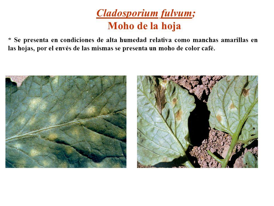Cladosporium fulvum; Moho de la hoja * Se presenta en condiciones de alta humedad relativa como manchas amarillas en las hojas, por el envés de las mi