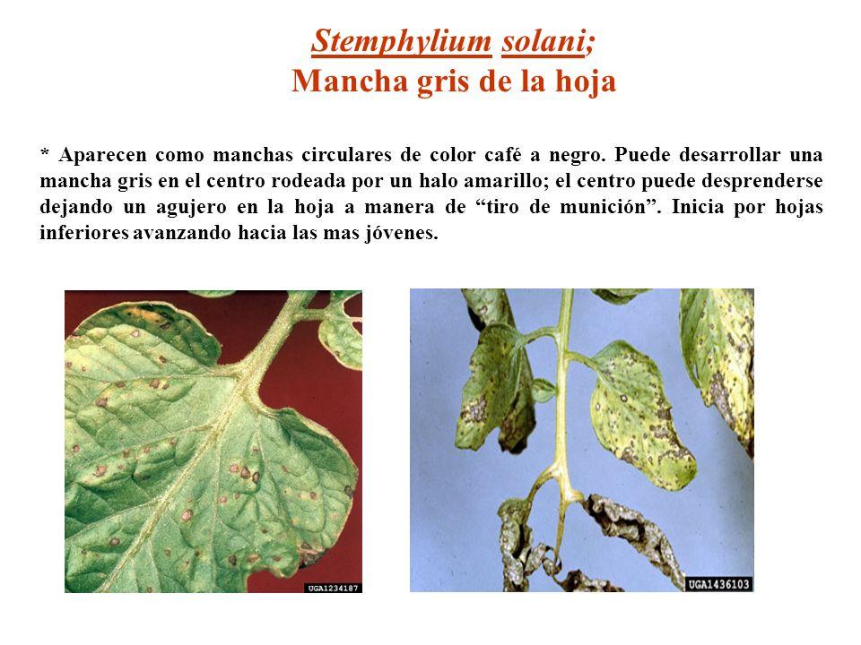 Stemphylium solani; Mancha gris de la hoja * Aparecen como manchas circulares de color café a negro. Puede desarrollar una mancha gris en el centro ro