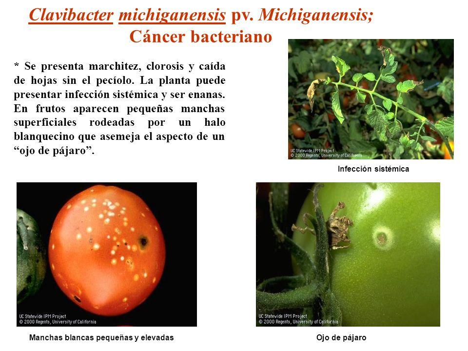 Ojo de pájaro Infección sistémica Manchas blancas pequeñas y elevadas Clavibacter michiganensis pv. Michiganensis; Cáncer bacteriano * Se presenta mar