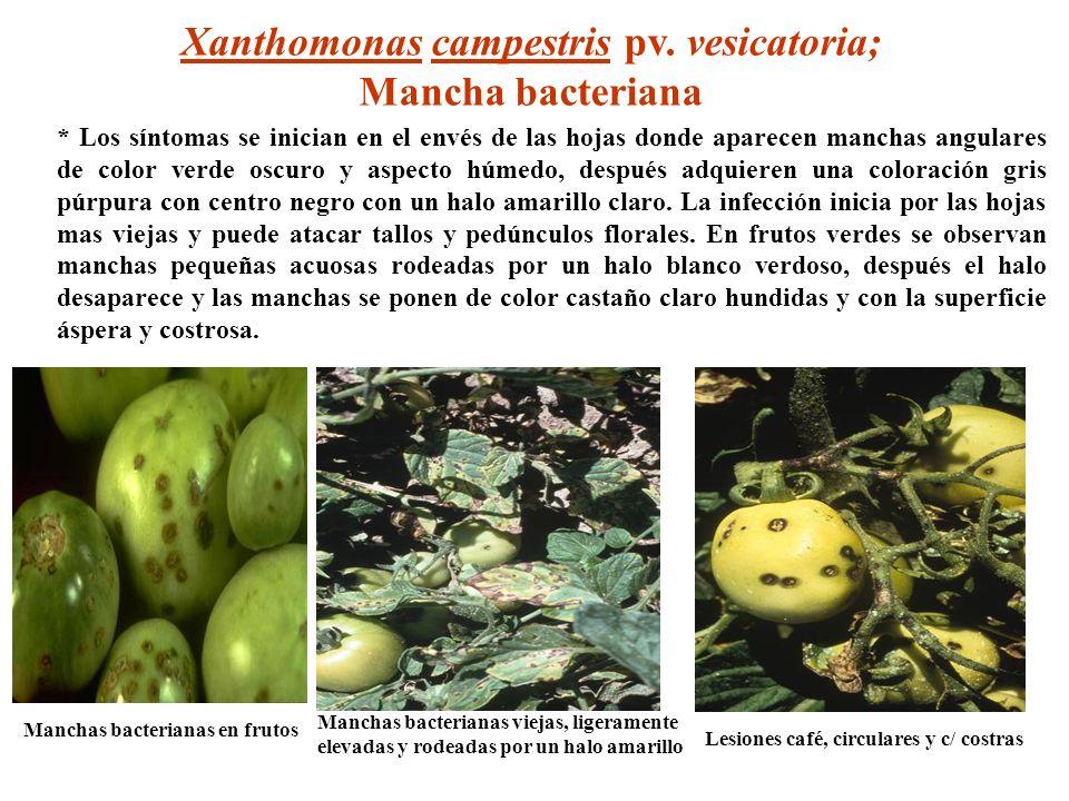 Manchas bacterianas viejas, ligeramente elevadas y rodeadas por un halo amarillo Lesiones café, circulares y c/ costras Manchas bacterianas en frutos