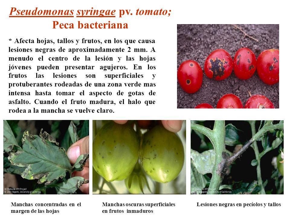 Manchas concentradas en el margen de las hojas Lesiones negras en pecíolos y tallosManchas oscuras superficiales en frutos inmaduros Pseudomonas syrin