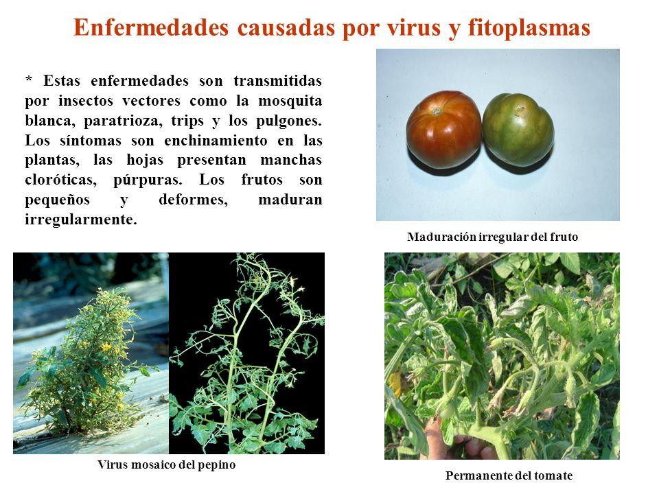 Virus mosaico del pepino Enfermedades causadas por virus y fitoplasmas * Estas enfermedades son transmitidas por insectos vectores como la mosquita bl