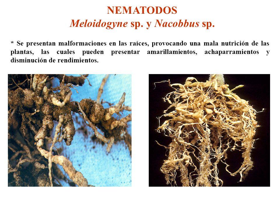 NEMATODOS Meloidogyne sp. y Nacobbus sp. * Se presentan malformaciones en las raíces, provocando una mala nutrición de las plantas, las cuales pueden