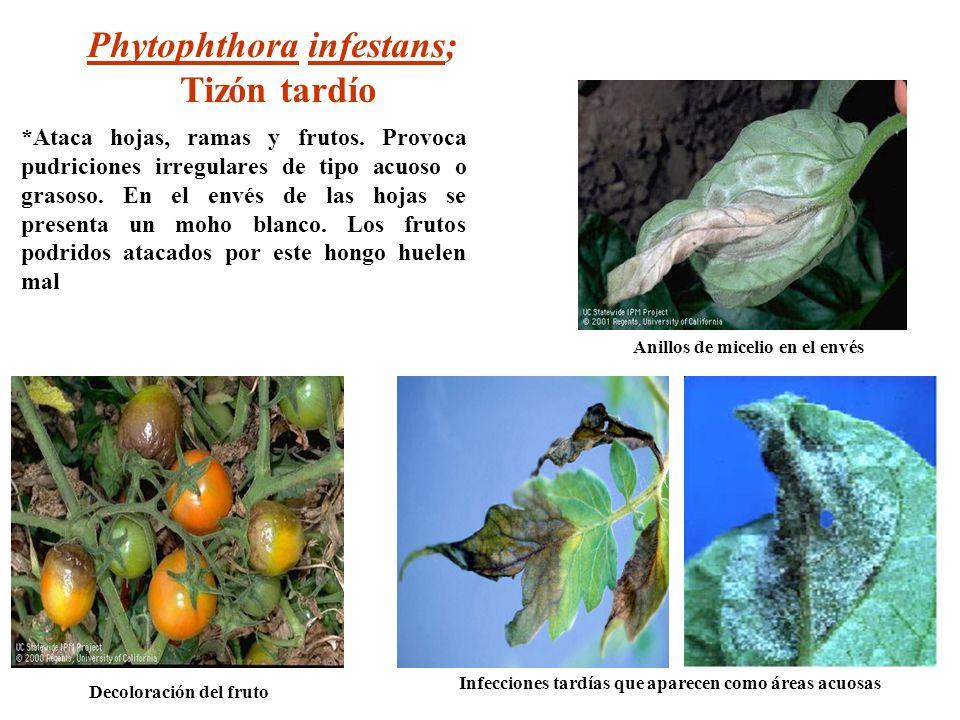 Decoloración del fruto Anillos de micelio en el envés Phytophthora infestans; Tizón tardío *Ataca hojas, ramas y frutos. Provoca pudriciones irregular