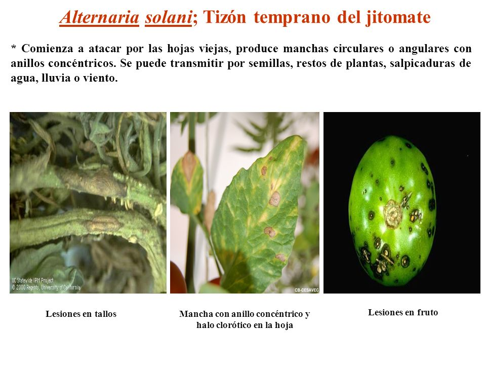 Alternaria solani; Tizón temprano del jitomate Lesiones en tallos Lesiones en fruto Mancha con anillo concéntrico y halo clorótico en la hoja * Comien