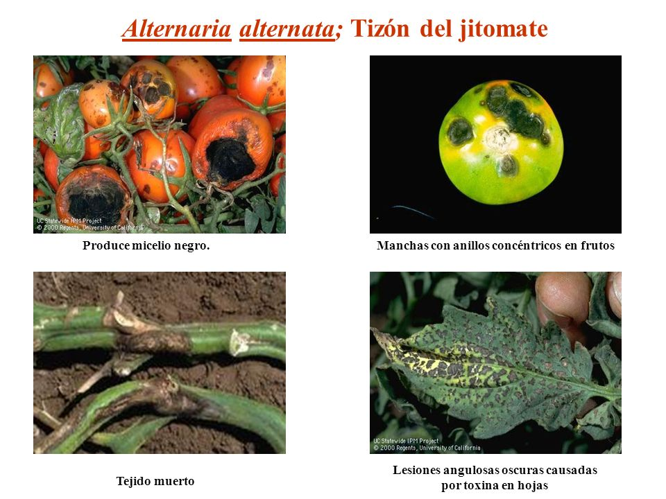 Lesiones angulosas oscuras causadas por toxina en hojas Manchas con anillos concéntricos en frutos Tejido muerto Alternaria alternata; Tizón del jitom
