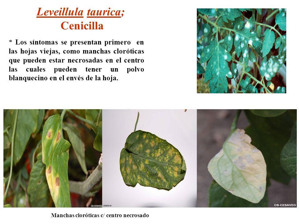 * Los síntomas se presentan primero en las hojas viejas, como manchas cloróticas que pueden estar necrosadas en el centro las cuales pueden tener un p
