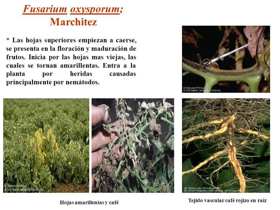 Tejido vascular café rojizo en raíz Hojas amarillentas y café Fusarium oxysporum; Marchitez * Las hojas superiores empiezan a caerse, se presenta en l