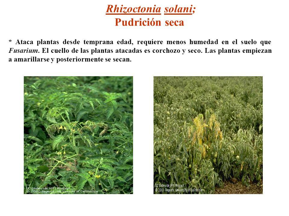 Rhizoctonia solani; Pudrición seca * Ataca plantas desde temprana edad, requiere menos humedad en el suelo que Fusarium. El cuello de las plantas atac