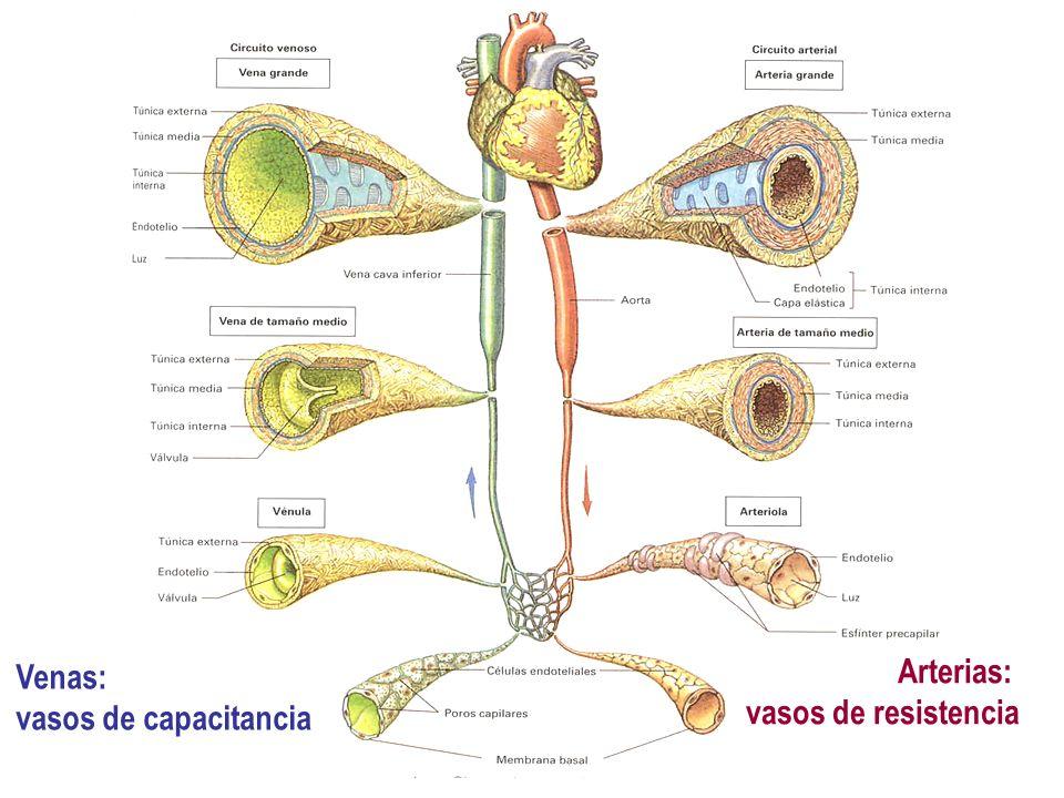 Arterias: vasos de resistencia Venas: vasos de capacitancia