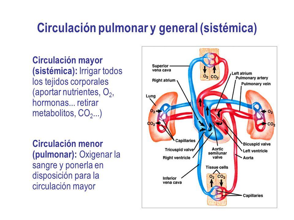 Objetivos 1.Explicar cómo está organizada la circulación sanguínea y comprender las diferencias entre: el árbol arterial y el venoso; y entre la circulación sistémica y la pulmonar.