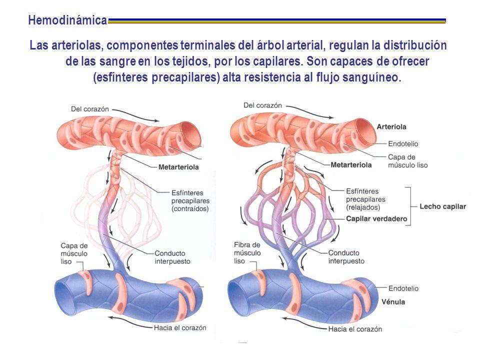 Hemodinámica Las arteriolas, componentes terminales del árbol arterial, regulan la distribución de las sangre en los tejidos, por los capilares. Son c