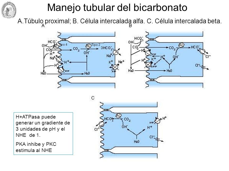 Manejo tubular del bicarbonato A.Túbulo proximal; B. Célula intercalada alfa. C. Célula intercalada beta. H+ATPasa puede generar un gradiente de 3 uni