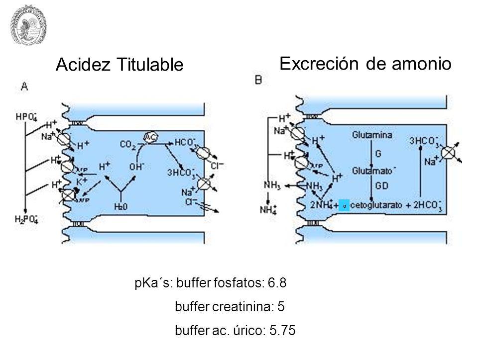 Acidez Titulable Excreción de amonio pKa´s: buffer fosfatos: 6.8 buffer creatinina: 5 buffer ac. úrico: 5.75 α