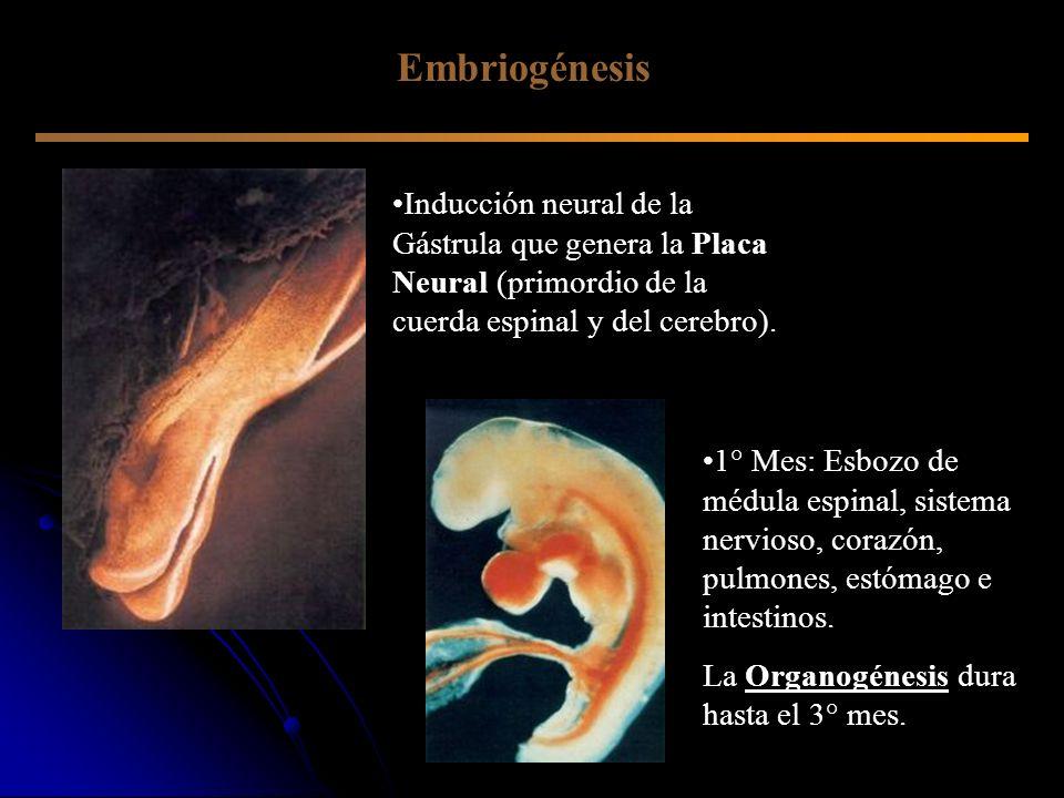 Inducción neural de la Gástrula que genera la Placa Neural (primordio de la cuerda espinal y del cerebro). 1° Mes: Esbozo de médula espinal, sistema n