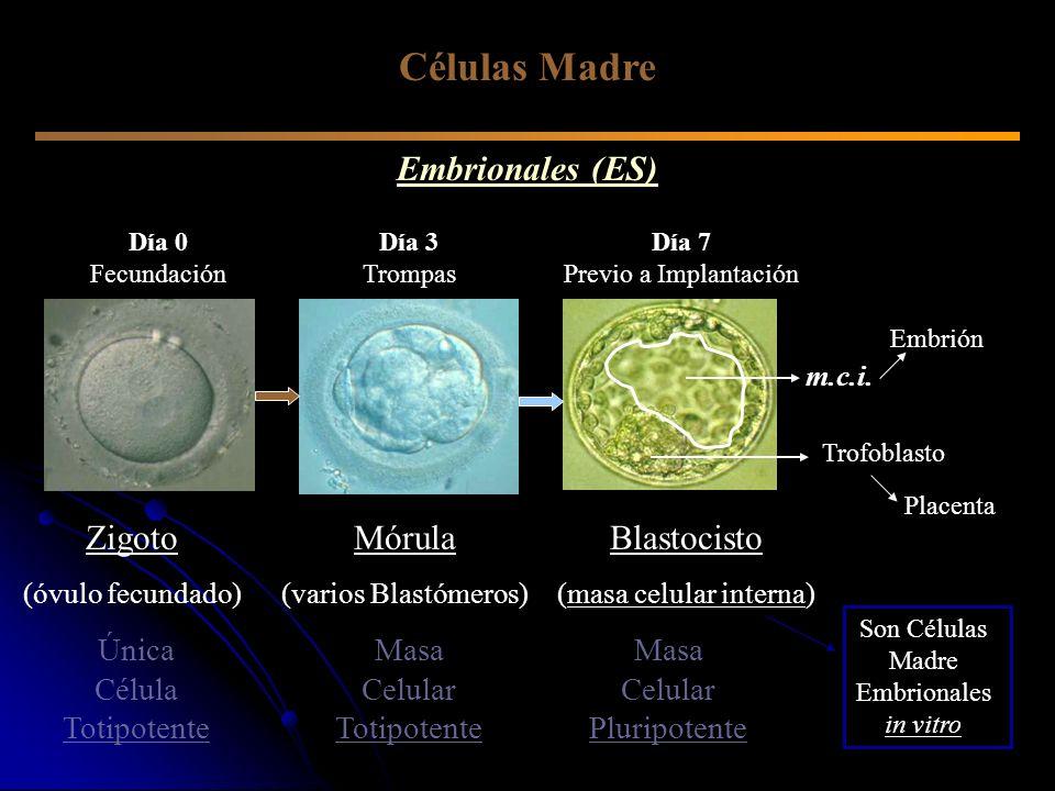 Células Madre Embrionales (ES) Zigoto (óvulo fecundado) Única Célula Totipotente Masa Celular Totipotente Mórula (varios Blastómeros) Blastocisto (mas
