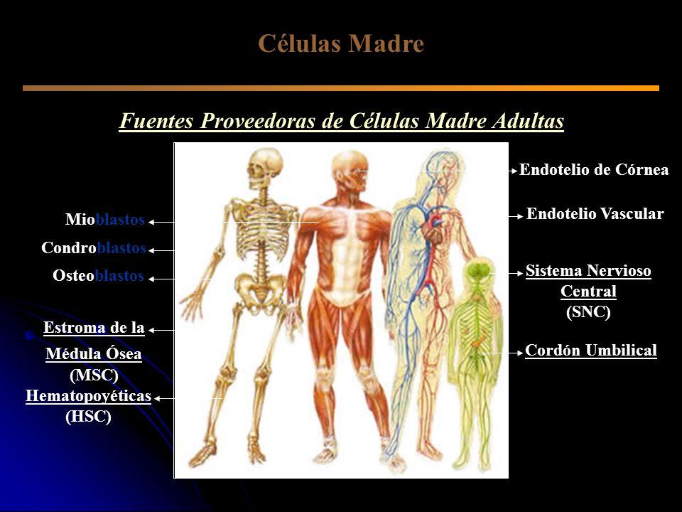 Células Madre Fuentes Proveedoras de Células Madre Adultas Osteoblastos Estroma de la Médula Ósea (MSC) Hematopoyéticas (HSC) Sistema Nervioso Central