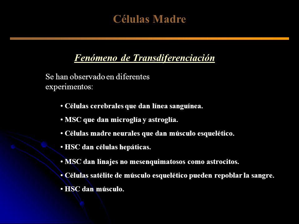 Células Madre Fenómeno de Transdiferenciación Se han observado en diferentes experimentos: Células cerebrales que dan línea sanguínea. MSC dan linajes