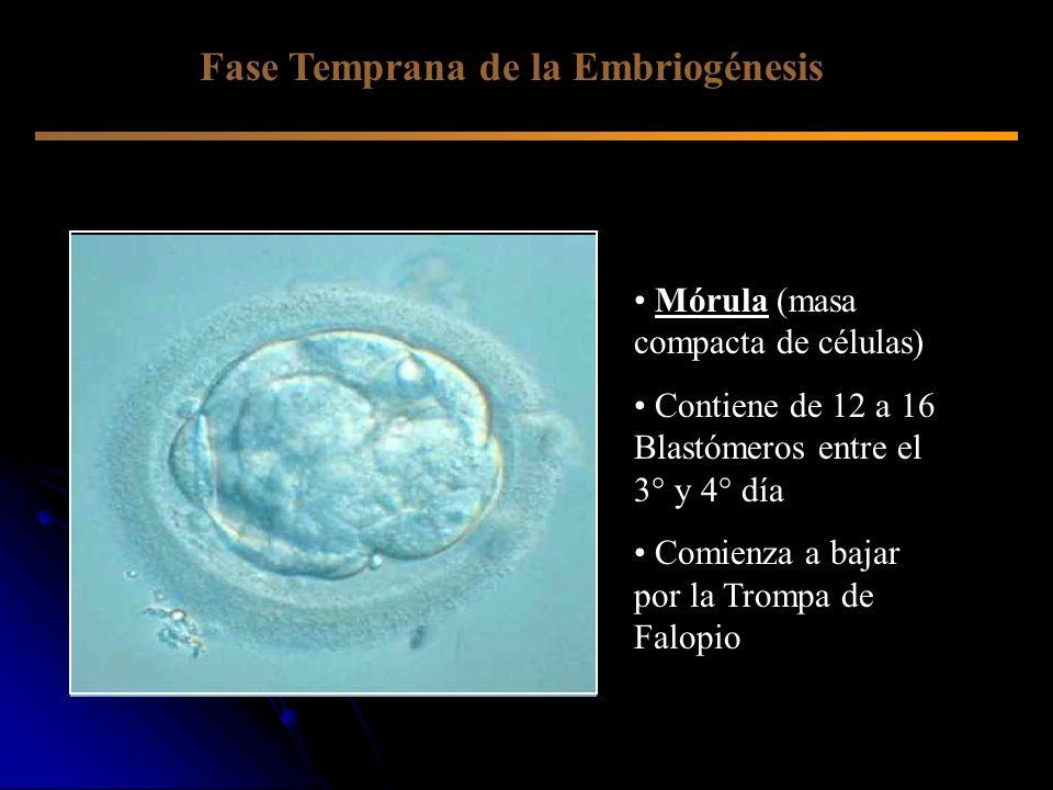 Mórula (masa compacta de células) Contiene de 12 a 16 Blastómeros entre el 3° y 4° día Comienza a bajar por la Trompa de Falopio Fase Temprana de la E