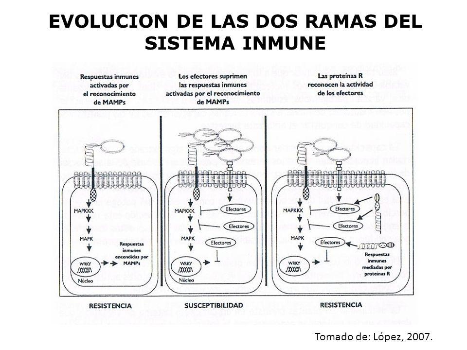 EVOLUCION DE LAS DOS RAMAS DEL SISTEMA INMUNE Tomado de: López, 2007.