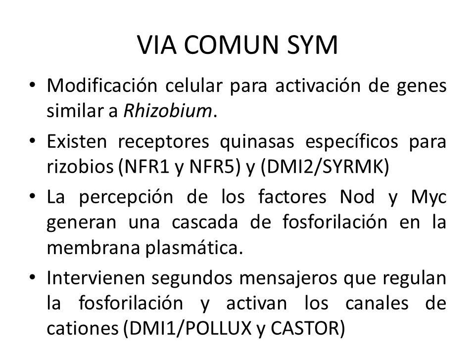 VIA COMUN SYM Modificación celular para activación de genes similar a Rhizobium. Existen receptores quinasas específicos para rizobios (NFR1 y NFR5) y