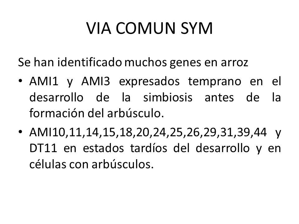Se han identificado muchos genes en arroz AMI1 y AMI3 expresados temprano en el desarrollo de la simbiosis antes de la formación del arbúsculo. AMI10,