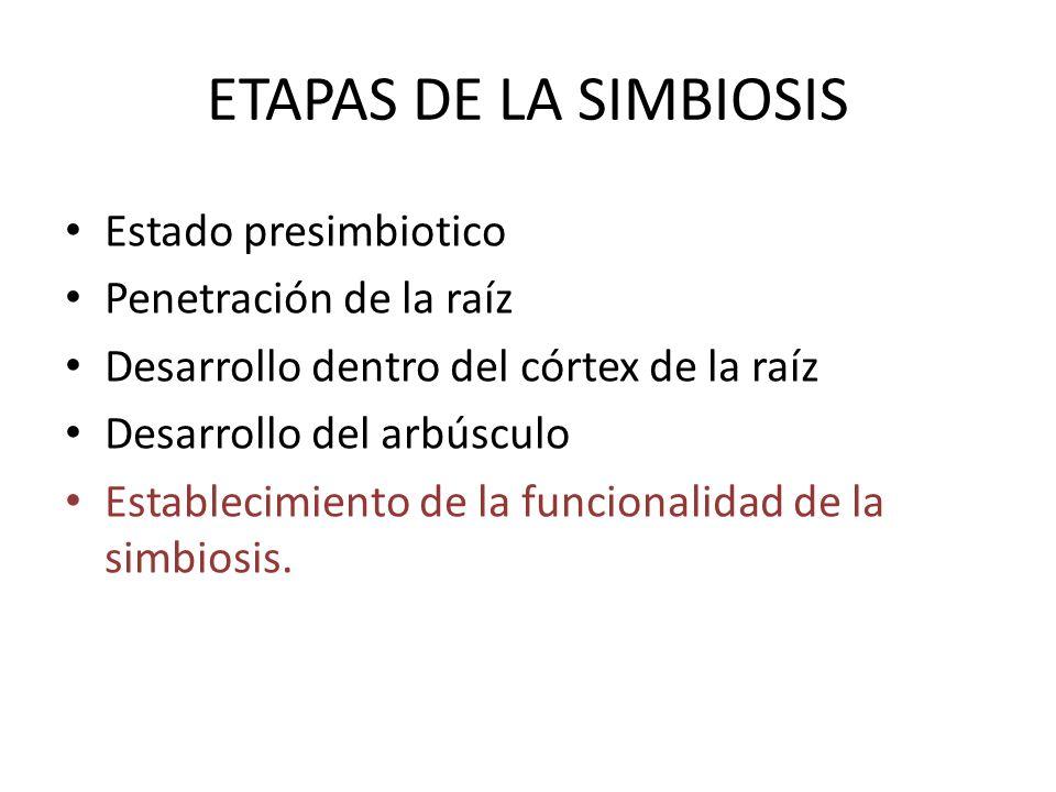 ETAPAS DE LA SIMBIOSIS Estado presimbiotico Penetración de la raíz Desarrollo dentro del córtex de la raíz Desarrollo del arbúsculo Establecimiento de