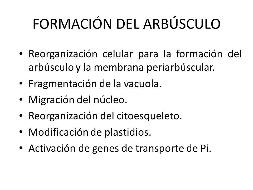 FORMACIÓN DEL ARBÚSCULO Reorganización celular para la formación del arbúsculo y la membrana periarbúscular. Fragmentación de la vacuola. Migración de
