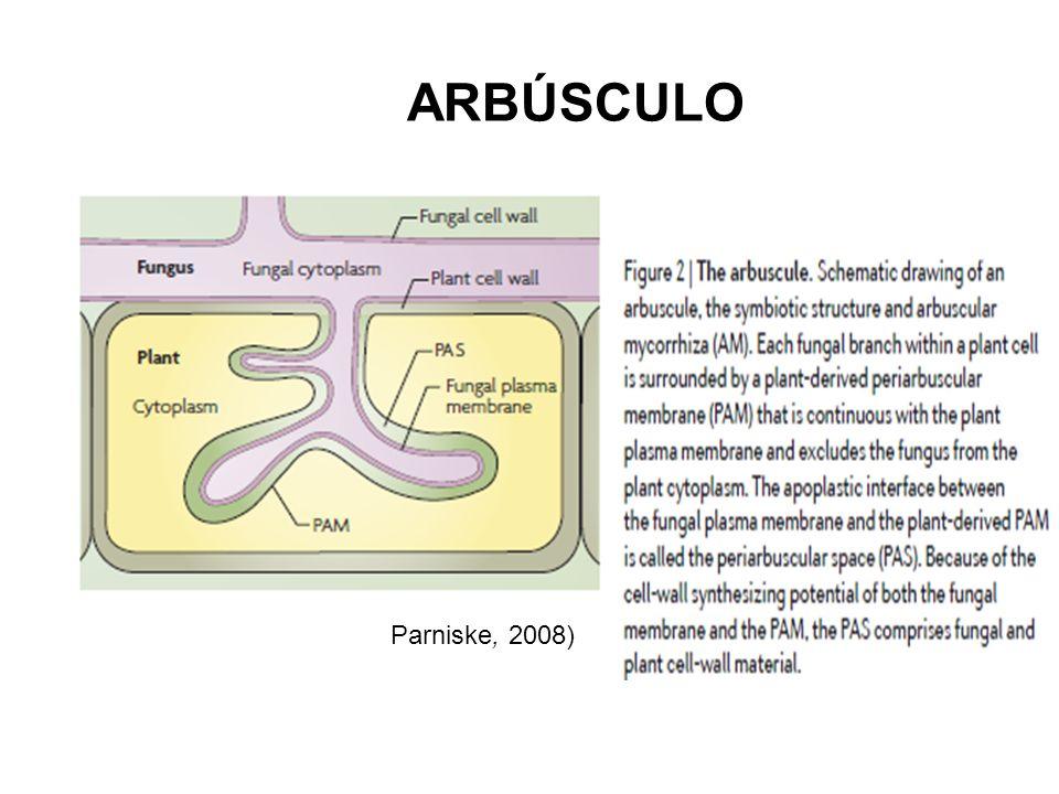 Parniske, 2008) ARBÚSCULO