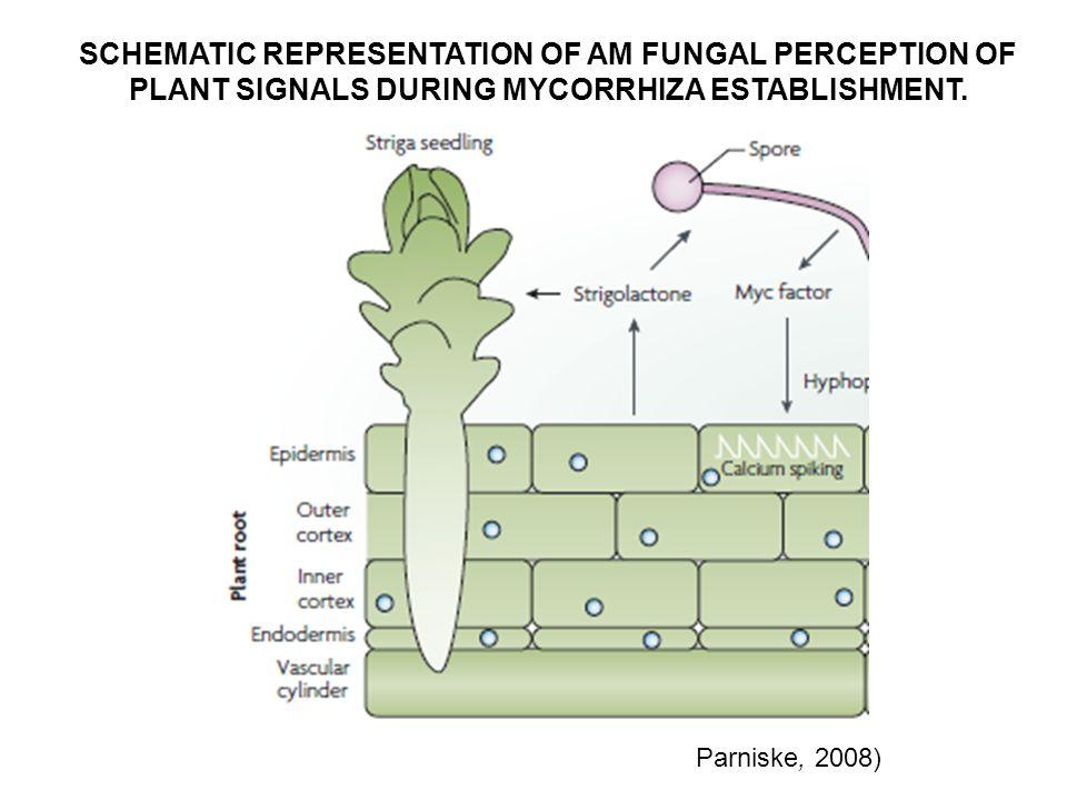 FORMACION DEL APRESORIO Y MICELIO INTERNO El hongo genera el apresorio y el núcleo se localiza inmediatamente debajo para formar el APP.