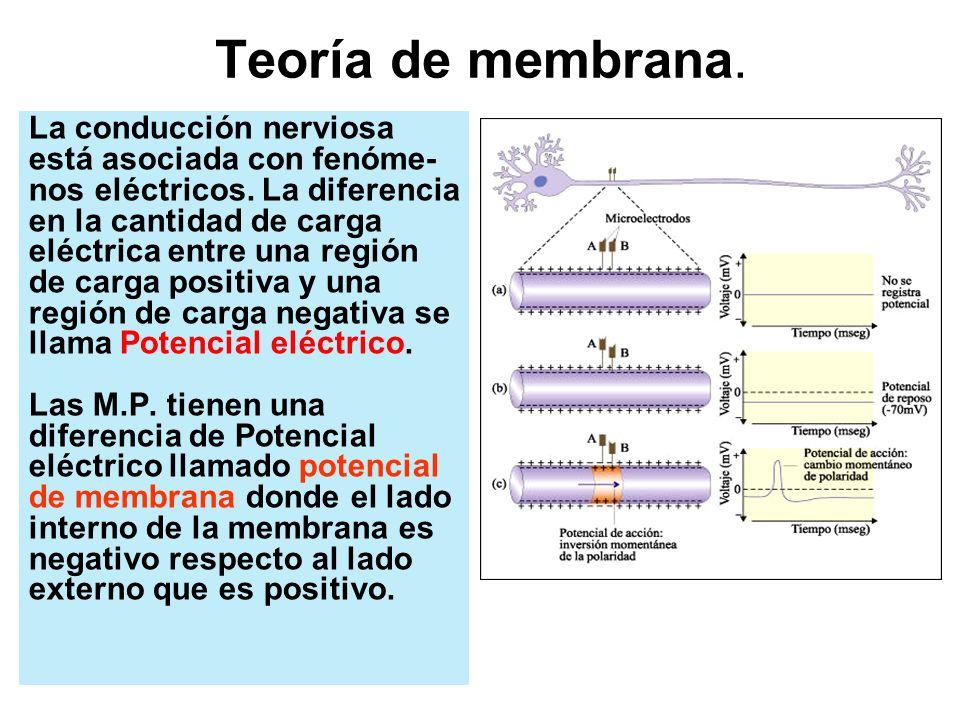 Periodo Refractorio Al salir K+, el potencial de reposo es mayor al normal y se vuelve más negativo (-90 mVol) la entrada de sodio y la salida de potasio provoca que la neurona no reconozca otro estímulo, no se excita, no genera un nuevo potencial de acción.